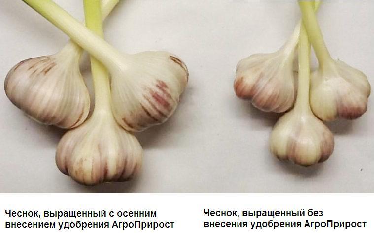 чеснок, выращенный с удобрением АгроПрирост
