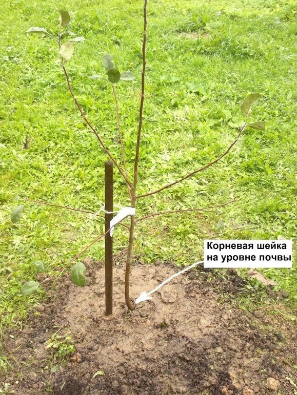Сорта яблони сажать и когда 202